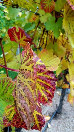 Wackerbarth Castle Saxony Vinery Wine Wine Leaves Autumn Leaf Nature Change Autumn Colors Beauty In Nature Close-up Focus On Foreground Plant No People Fall