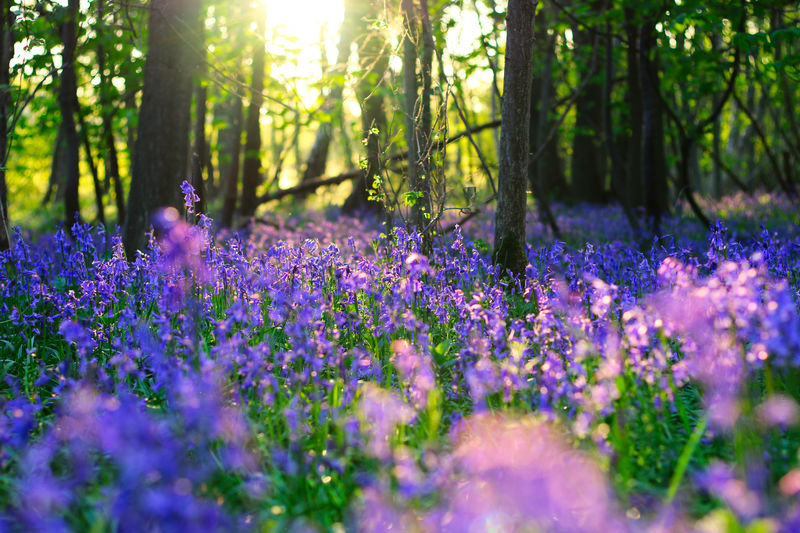 Spring Bluebells Beauty In Nature Day Field Flower Flowering Plant Forest Freshness Growth Land Lavender Nature Outdoors Plant Purple Selective Focus Springtime Sunlight Tranquility Tree Tree Trunk Trunk Vulnerability