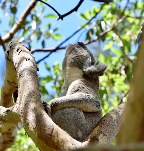 Animal In Disgust Animal Resentful Animal Indignant Animal Themes Koala 🐨 Koala Bear Low Angle View Day No People Nature Focus On Foreground Animal Wildlife One Animal Animal