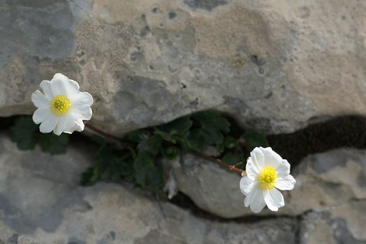 Flowering Plant Flower Freshness Beauty In Nature Vulnerability  Fragility Petal White Color Plant Inflorescence Nature Flower Head Growth Close-up Day No People Pollen Rock High Angle View Rock - Object Outdoors