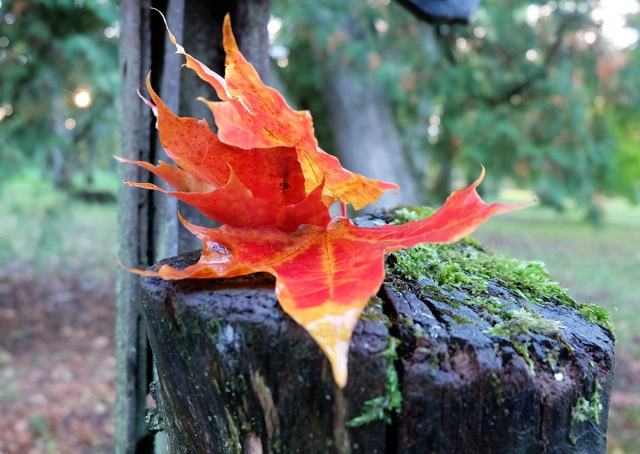 orange color, autumn, close-up, change, focus on foreground, plant part, day, plant, no people, leaf, nature, tree, maple leaf, beauty in nature, outdoors, land, growth, selective focus, trunk, tree trunk, leaves, orange, autumn collection, natural condition