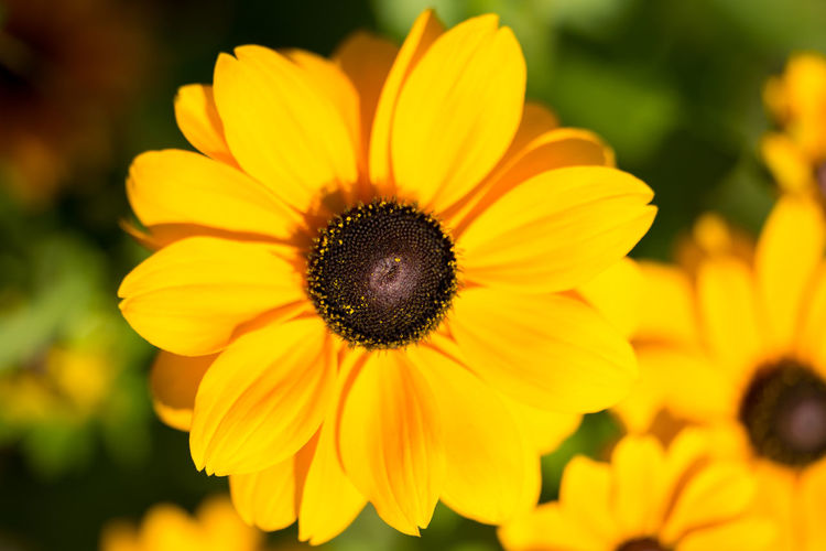 Close-up of black-eyed yellow flower blooming outdoors