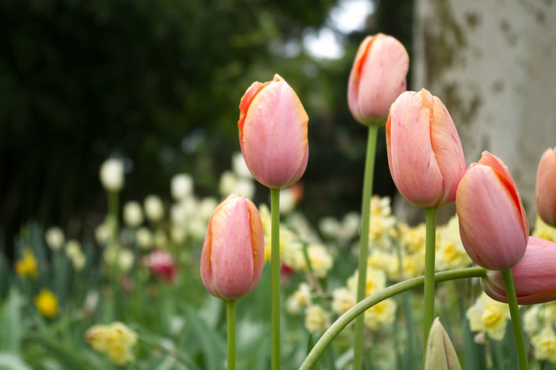 tulips in a