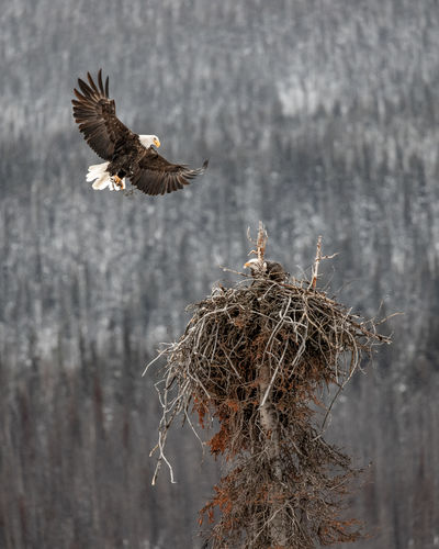 Some bald eagles (haliaeetus leucocephalus) building their nest as winter sets in. They were setting this nest up near Medicine Lake in Jasper National Park which is an area where it regularly gets to -35C (-31 F) in the winter. Hard to imagine anything nesting that high up in the Canadian Rockies. Love Life, Love Photography Bird Animals In The Wild Animal Themes Animal Vertebrate Animal Wildlife Flying One Animal Bird Of Prey No People Nature Day Spread Wings Animal Nest Focus On Foreground Eagle - Bird Eagle Tree Bald Eagle Plant Outdoors Bald Eagle In Flight Nesting Birds Haliaeetus Leucocephalus Wildlife & Nature