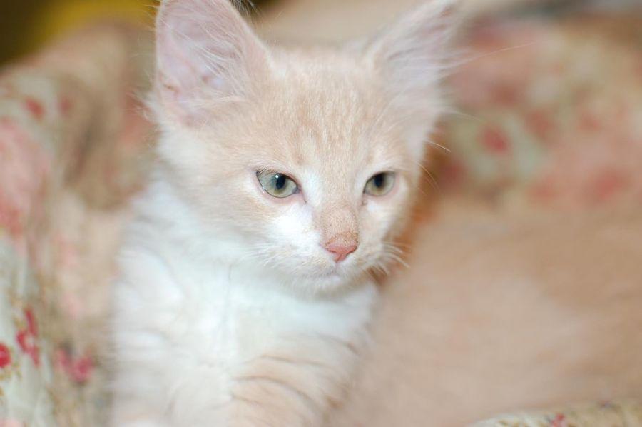 Soft kitty, warm kitty, little ball of fur... Kitten Cat Pets Portrait