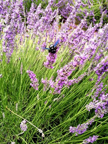Purple Flower Nature Beauty In Nature No People Fragility Freshness Grass Plant Animal Themes Insects  Black Bee Xylocope