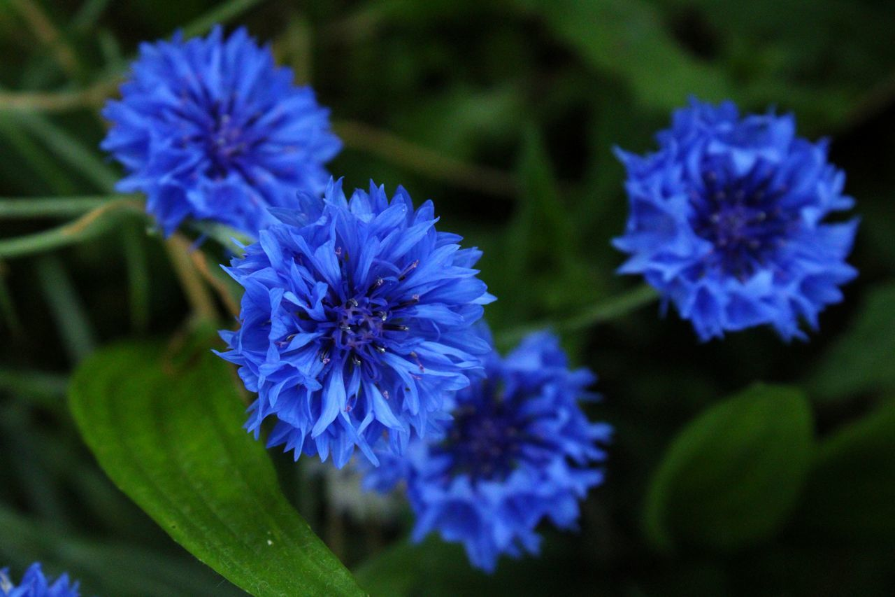 CLOSE-UP OF PURPLE BLUE FLOWERS