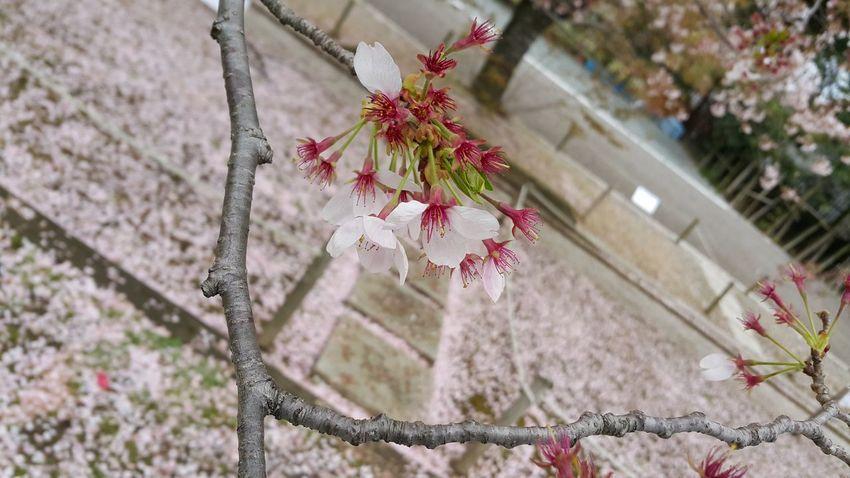 Sakura Japan Flower April Tree Christmas Flower Branch Hanging