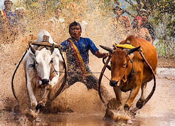 Full-length shot of man with two bulls during kerala cattle racing