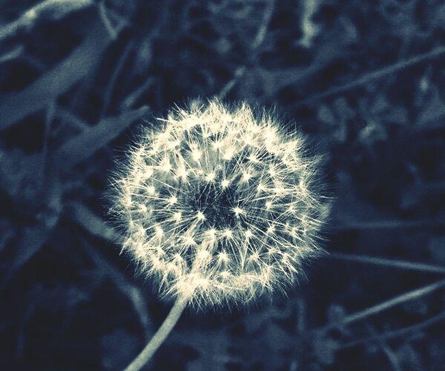 #nature # Flower #dandellion