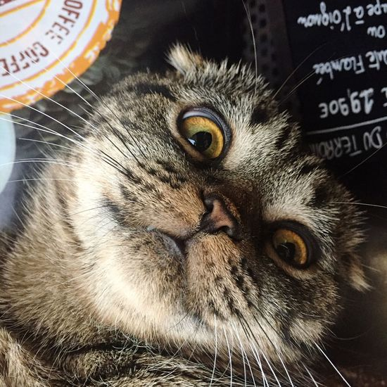 Cat Head Cat Face Scottish Fold Scottishfold Cute Cat 😻 Cute Cat Pets Domestic Animals Domestic Cat One Animal Whisker Animal Themes Portrait Looking At Camera