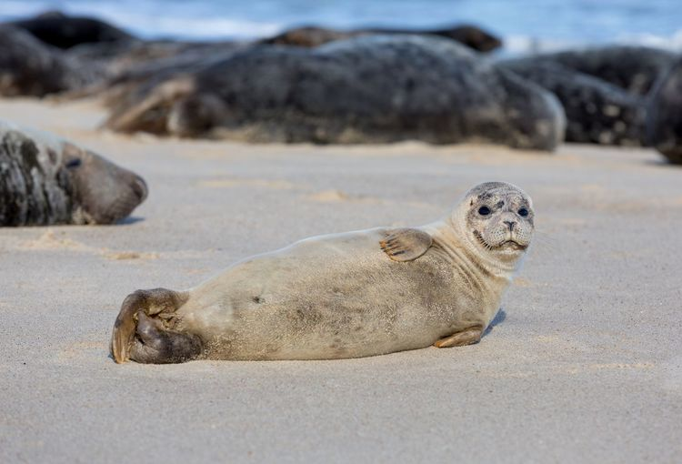 Young seal pup Seascape Seaside Grey Seals Grey Seal Pup EyeEm Gallery EyeEm Selects EyeEm Nature Lover EyeEm Best Shots Beauty In Nature Beach Mammals Sand Animals In The Wild Animal Animal Themes Animal Wildlife Land Beach Nature Day Seal - Animal Relaxation Marine