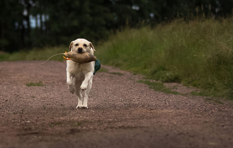 Retrieve Dog Domestic Animals Duck-dummy Focus On Foreground Labrador No People Pathway Pets Running Selective Focus