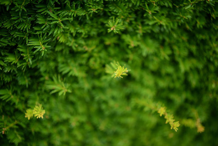 Close-up Coniferous Day Depth Of Field Fragility Garden Green Nature Plant Selective Focus Shrub Summer Twig Wildlife Wintergreen Yellowish Green Maximum Closeness