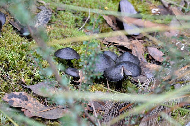 Black Black Mushroom Blakc Mushrooms Fungi Fungus 🍄 Mushrooms Nature