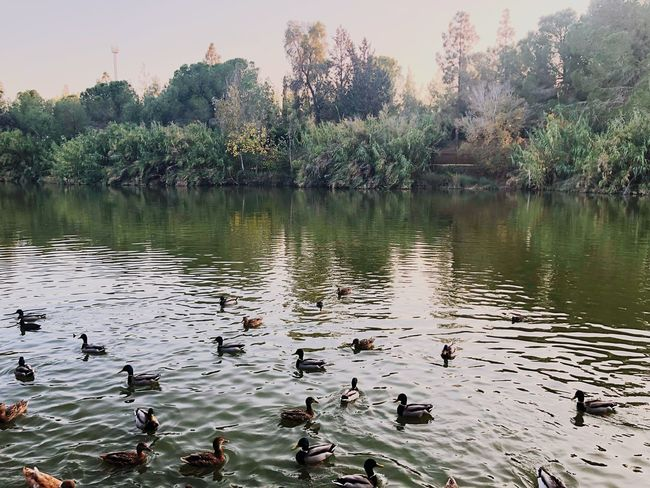 Reflection Trees Plants Art Beauty Nature Animals Swan Water Lake Plant Beauty In Nature Reflection Animal Wildlife Tree Group Of Animals Animals In The Wild Vertebrate Animal Animal Themes No People Nature Large Group Of Animals Tranquility Bird Day Sky Outdoors