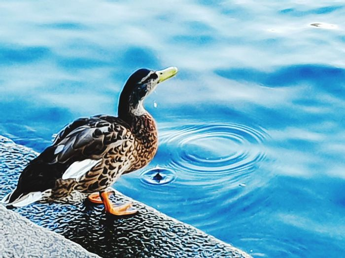 Just a drop in the ocean Sea Art Survival On The Edge Thirsty  Water Surface Water Drop Drinking Drop Blue Copy Space Nature Left Background In Front Bird Water Swimming Lake Full Length Side View Close-up Duck Feather  Water Bird Swimming Animal Mandarin Duck Muscovy Duck Mallard Duck Beak