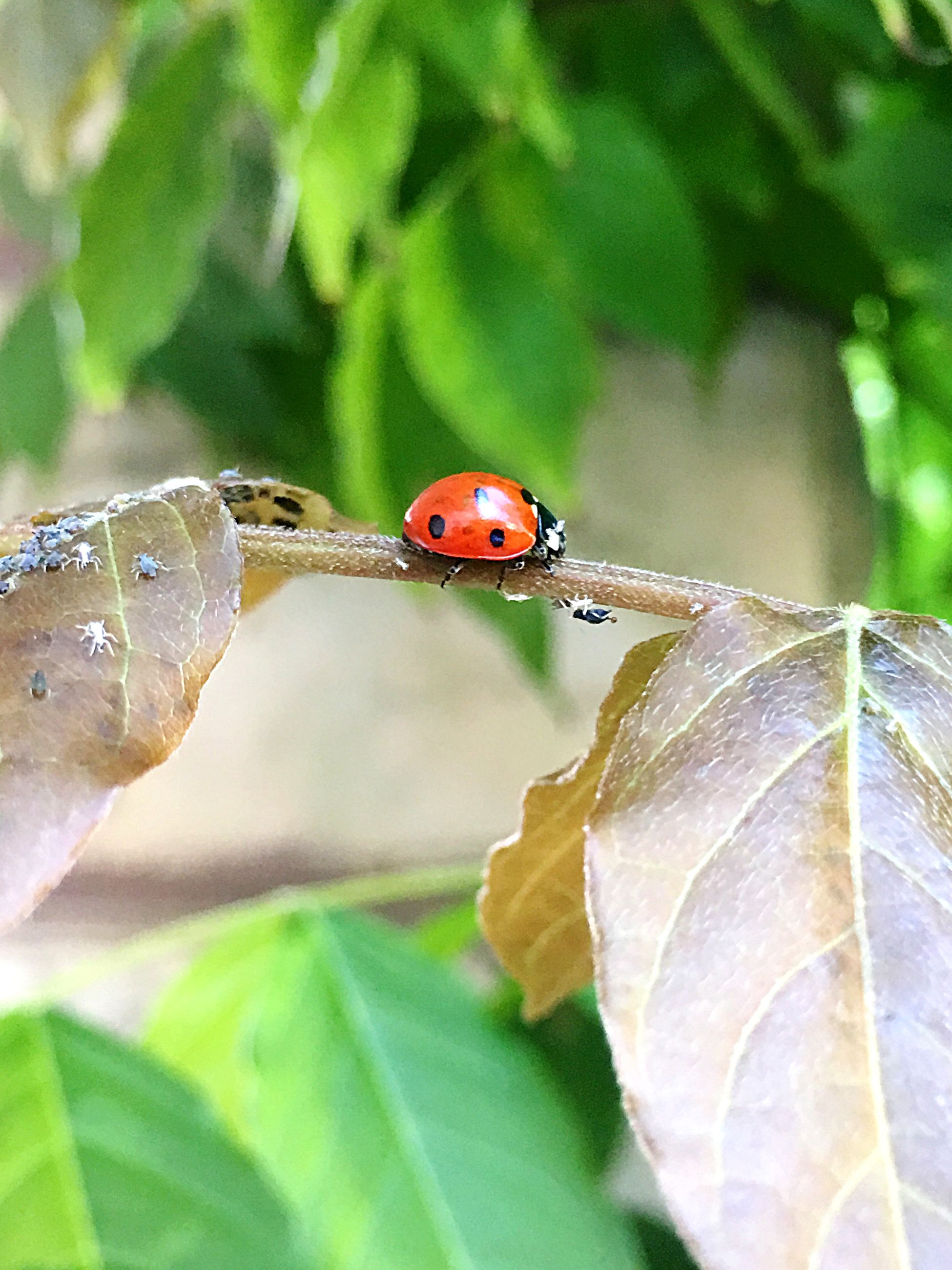 invertebrate, plant part, leaf, insect, animals in the wild, animal wildlife, animal, close-up, animal themes, ladybug, beetle, plant, nature, focus on foreground, one animal, day, green color, no people, outdoors, red, small