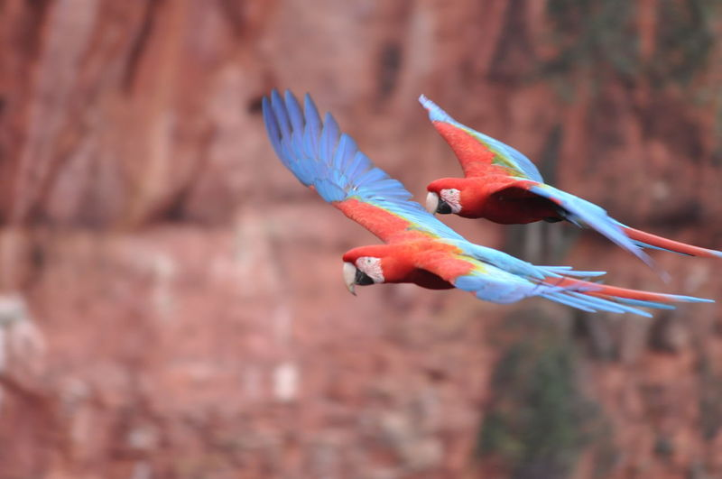 Close-up of scarlet macaws flying in mid-air