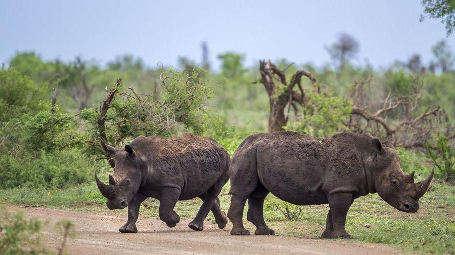 Rhinoceroses walking on land