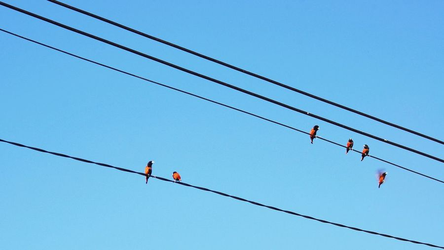 A flock of chestnut munia perched atop power lines Overheard Communication Chestnut Munia Mayang Pula Clear Sky Telephone Line Perching Cable Bird Hanging Blue RISK Flock Of Birds Power Cable