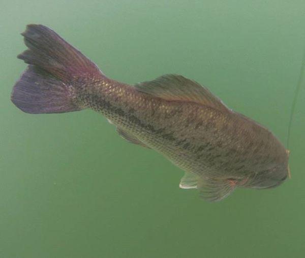 You're beautiful! 💖 Bassfishing Fishing Blackbass Micropterus Largemouthbassfishing Largemouth Bigmouth Nice Beautiful Bassfishingismylife Pesca Blackbassfishing Fishing