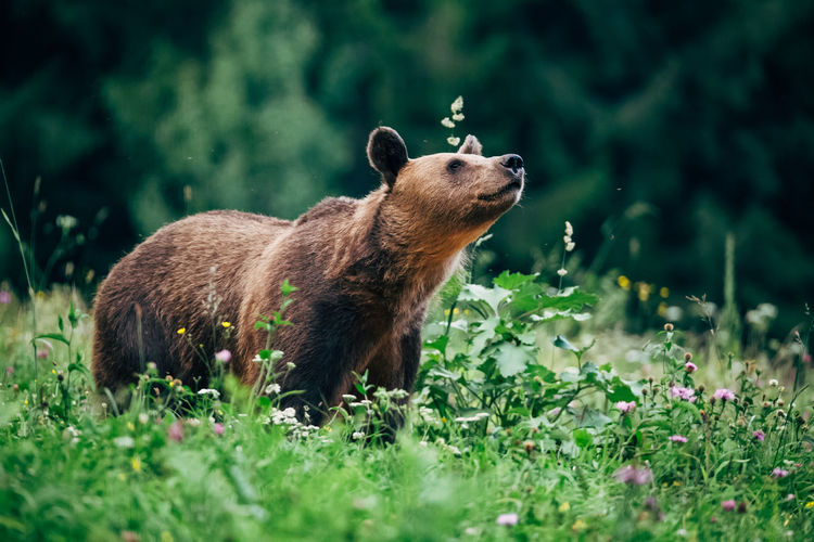 Profile view of brown bear in forest
