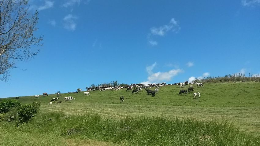 Sky Nature Agriculture Blue Green Color No People Rural Scene Beauty In Nature Cows🐮 Outdoors Azores Islands