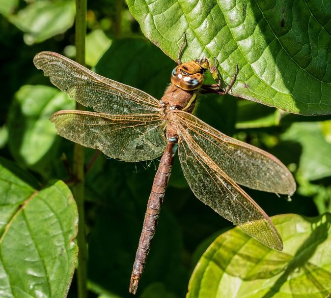 Dragonfly Insect Dragonfly Close-up Nature