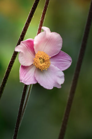 Nature Anemone Anemone Flower Beauty In Nature Bokeh Close-up Day Flower Flower Head Fragility Freshness Growth Nature No People Outdoors Petal Plant