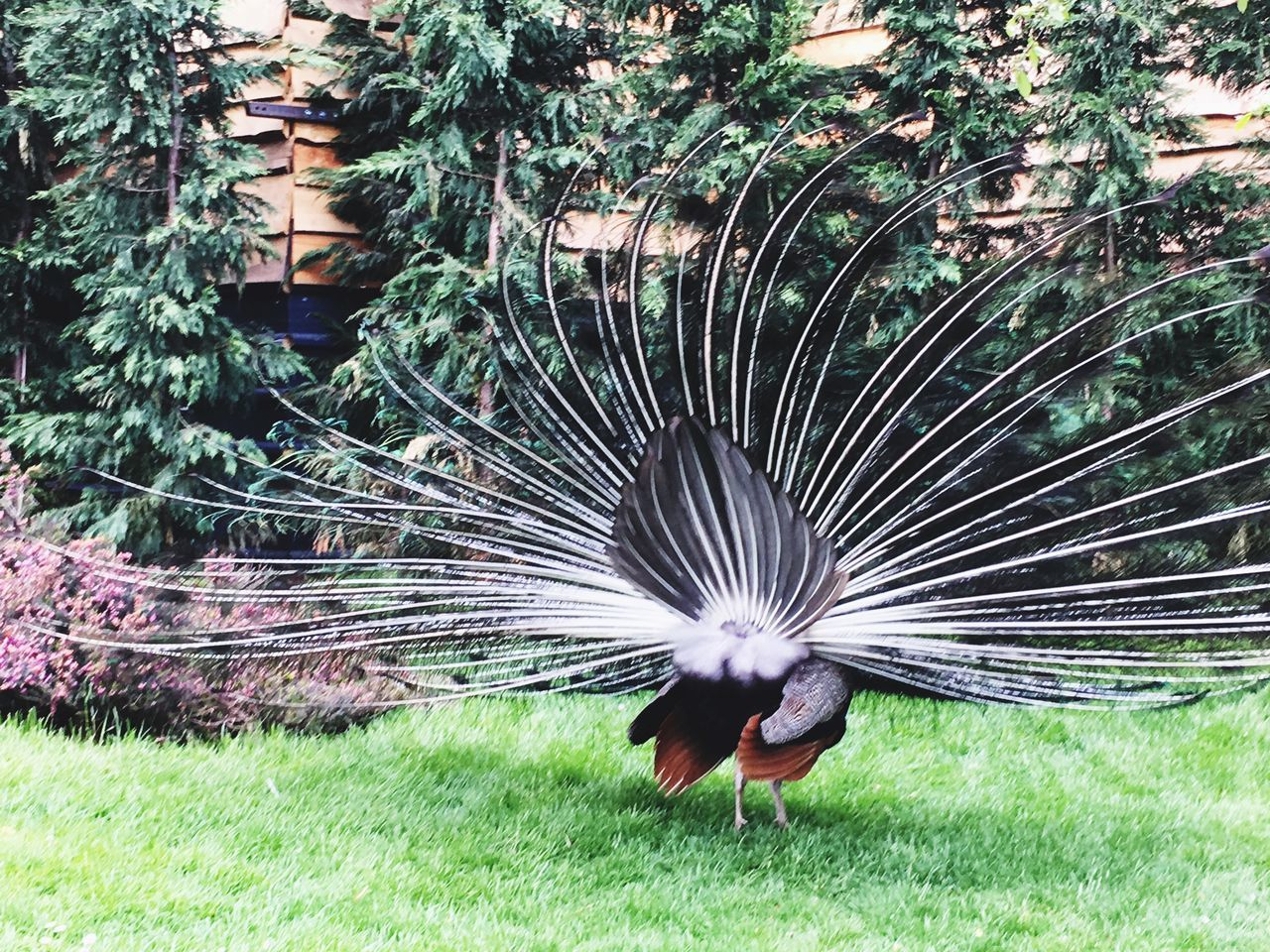 VIEW OF A PEACOCK