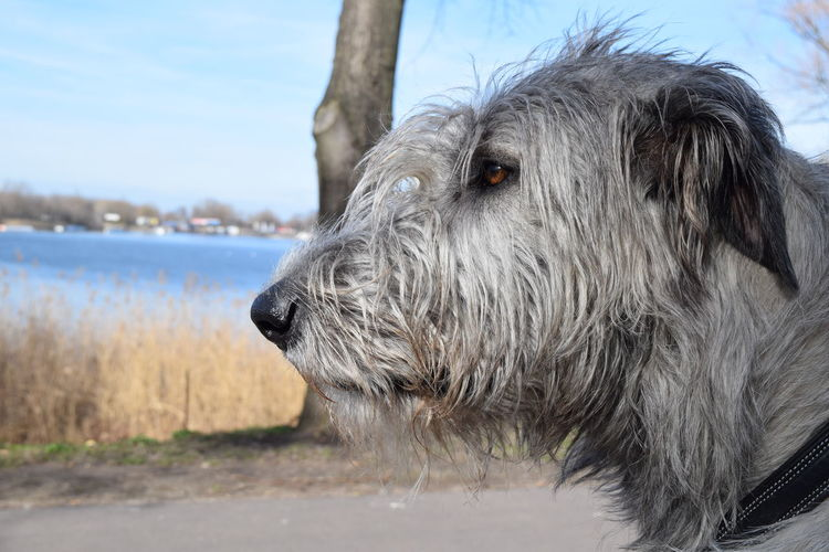 One Animal Dogwalk Portrait Bokeh Dog Of The Day Dogs Of EyeEm Dogslife Dogs Of Winter Irish Wolfhound Cearnaigh Close-up March 2017 Winter 2017 A Walk In The Park Animal Eye Animal Themes Animal Head