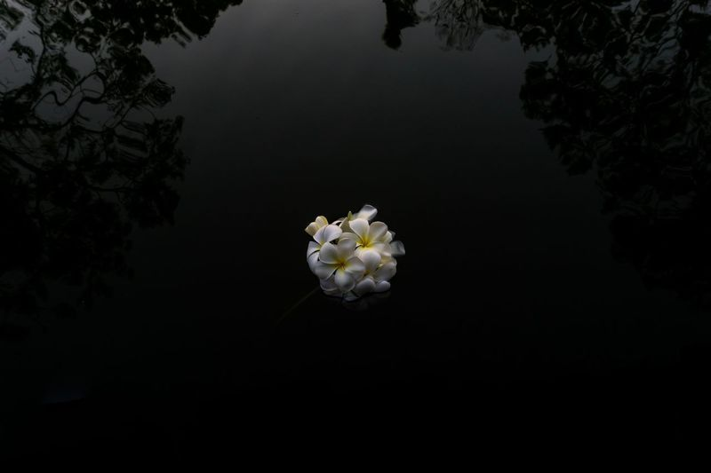 Plumeria Lead On Water Floor Wet Beautiful Plant Flower Flowering Plant Beauty In Nature Fragility Vulnerability  Freshness No People Water Flower Head Night Copy Space Outdoors White Color Petal Nature