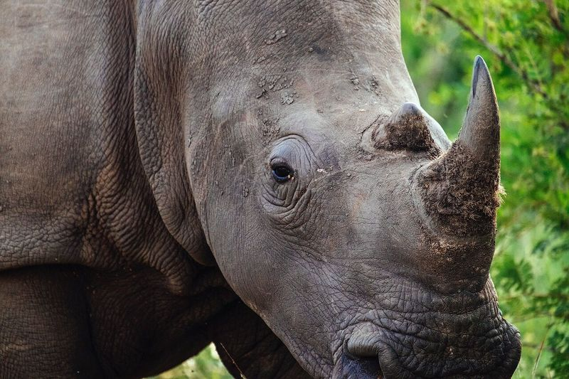 Close up of a white rhino Animal Wildlife Animal Body Part Animal One Animal Animals In The Wild Animal Head  Mammal Rhinoceros Nature Close-up Outdoors No People Day Wind Instrument Animal Themes