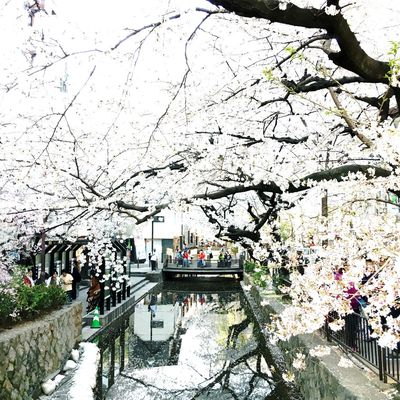 Japanese Culture Sakura Architecture Blossom Branch Building Exterior Built Structure Canal Cherry Blossom Cherry Tree City Day Flower Flowering Plant Fragility Freshness Growth Incidental People Nature Outdoors Plant Springtime Transportation Tree