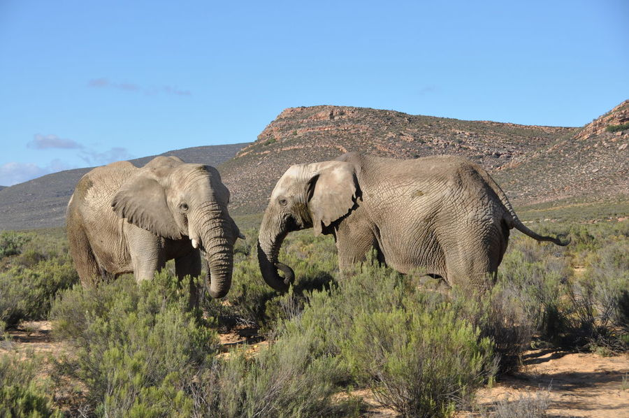 African Elephant Animal Themes Animal Wildlife Animals In The Wild Aquila Game Reserve Couple Day Elephant Grass Mammal Nature No People Outdoors Safari Animals Sky Togetherness