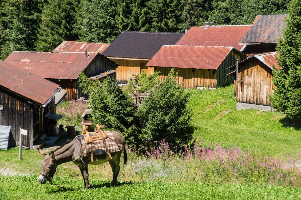 house, grass, built structure, tree, architecture, field, day, outdoors, building exterior, mammal, no people, rural scene, domestic animals, barn, nature, animal themes