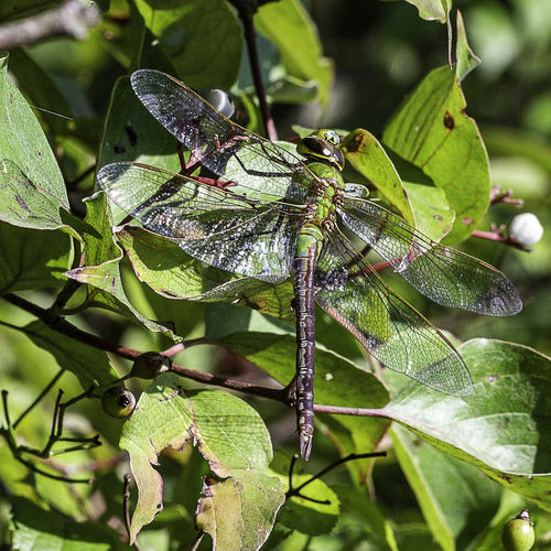 A common green darner at rest. Green Darner Common Green Darner Dragonfly Anax Junius Leaf Animal Wildlife Animals In The Wild Animal Themes Insect Green Color Close-up Beauty In Nature Animal Wing Outdoors Nature One Animal Macro Entomology Colorful Resting Darners
