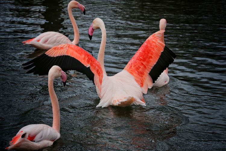 Animal Themes Animal Wildlife Animals In The Wild Beak Beauty In Nature Bird Birdland Bourton On The Water Cheltenham Close-up Day Flamingo Flamingo Full Length Lake Nature No People Outdoors Swan Water Water Bird Zoology