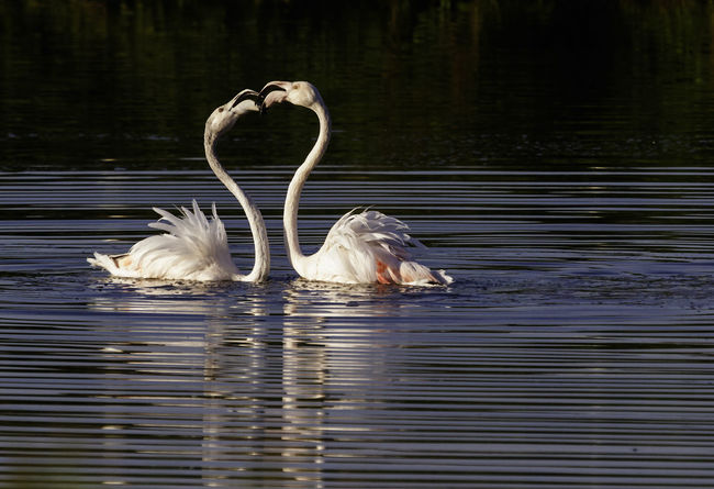 Animal Themes Animals In The Wild Bird Flamingo, Greater Flamingo, Floating On Water Lake Lovebirds, Nature Pink Birds Reflection Water Wildlife