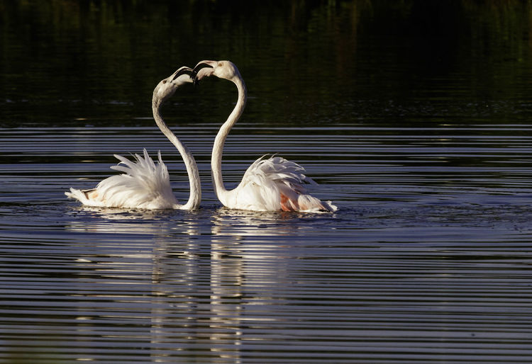 Flamingoes face to face swimming in lake