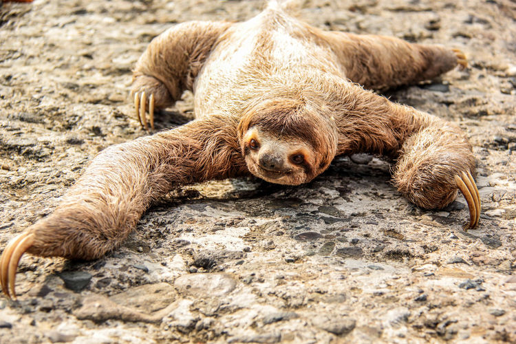 Close-up of three-toed sloth on rock