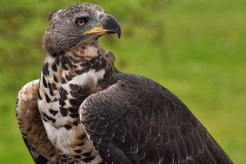 Bird Bird Of Prey Animal Wildlife Animals In The Wild Animal Themes Focus On Foreground Beak One Animal Close-up Nature Day Perching Looking At Camera Outdoors No People EyeEmNewHere Hello World First Eyeem Photo Eagle Falconry Hawk Eagle