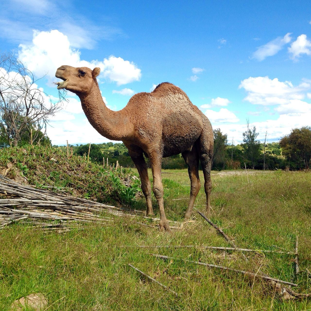 Low Angle View Of Camel On Grassy Field