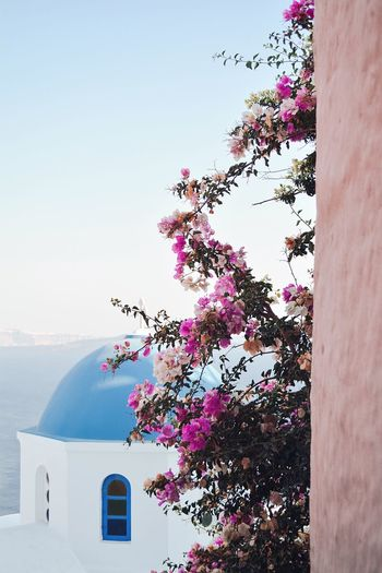 The classic one Travel Destinations Santorini, Greece Santorini The Week on EyeEm Eye4photography  EyeEm Gallery EyeEm Selects EyeEm Nature Lover EyeEm Best Shots The Architect - 2018 EyeEm Awards The Great Outdoors - 2018 EyeEm Awards The Traveler - 2018 EyeEm Awards Built Structure Architecture Plant Building Exterior Sky Nature Pink Color Flowering Plant Flower Outdoors Growth Low Angle View Beauty In Nature 50 Ways Of Seeing: Gratitude