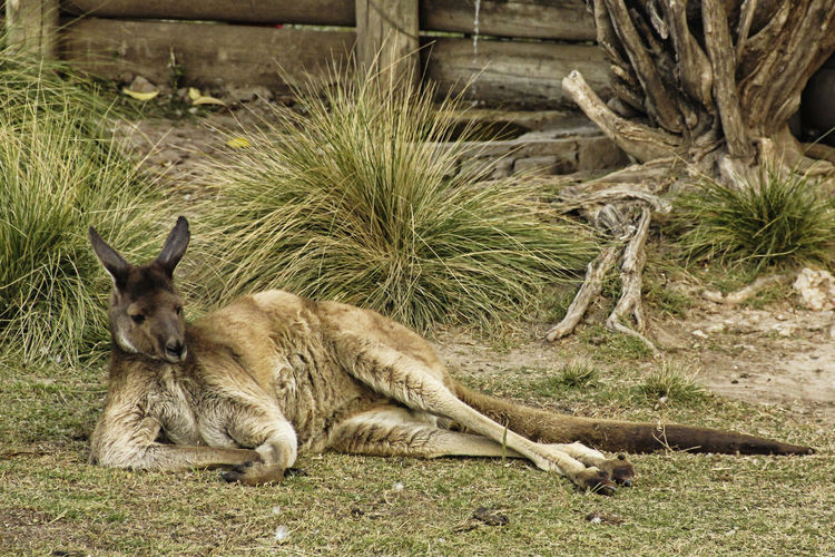 Animal Themes Mammal Animal One Animal Plant Animal Wildlife Relaxation Animals In The Wild Kangaroo Vertebrate Nature No People Day Land Full Length Field Tree Domestic Animals Grass Outdoors Relaxing Zoo