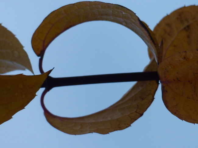 Yellow Leaves Automn Leaves Beauty In Nature Close-up Geometry In Nature Leaf Nature Outdoors Sky