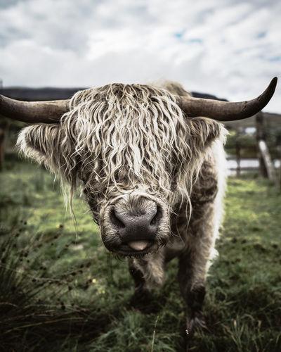 platinum Beef Livestock EyeEm Selects EyeEm Nature Lover EyeEm Best Shots Bad Hair Day Platinum Blonde Blond Hair Scottish Highlands Scotland Highlands Of Scotland Highland Cattle Cow Animal Themes Scenics Nature Portrait Portrait Of A Woman Beauty In Nature Natural Beauty