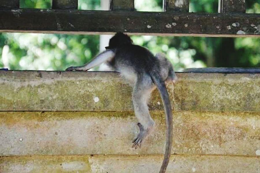 Animal Themes Animals In The Wild Monkey Animal Wildlife Primate Nature MonkeyForest Monkeyforestubud Ubud, Bali Littlemonkey Life Wildlife & Nature Naturephotography Animalsphoto Bali, Indonesia INDONESIA Loveindonesia