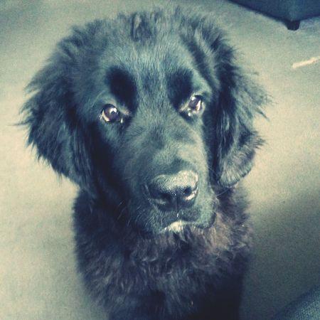 hes getting big Puppy Newfy Dog Cute